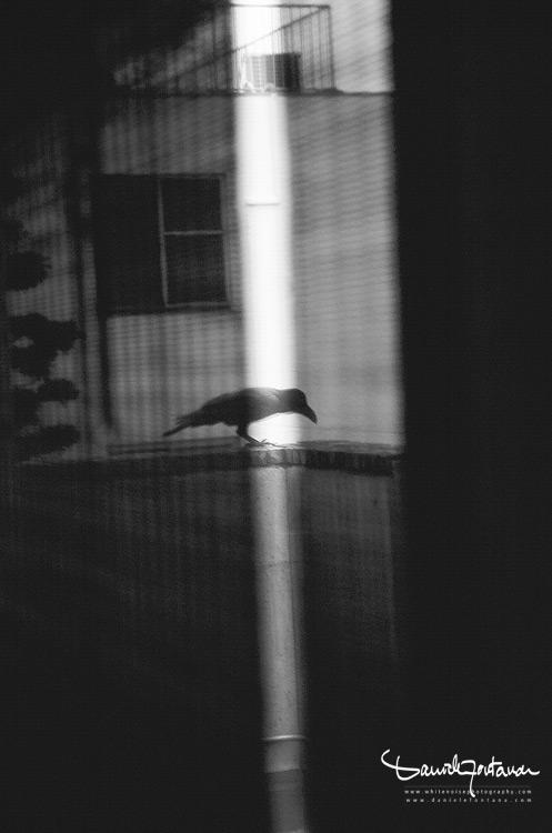 crow_daniele fontana_photographer sardinia
